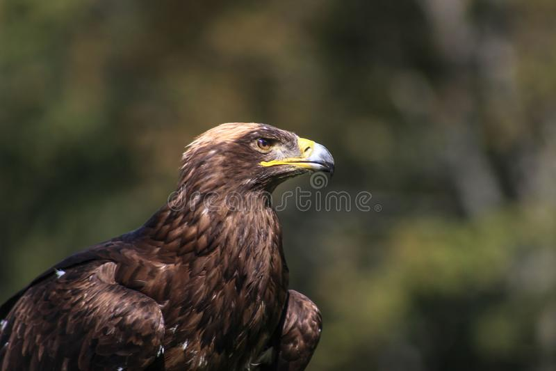 Eagle d'or - l'Illinois, fauconnerie, Vorarlberg, Autriche images libres de droits