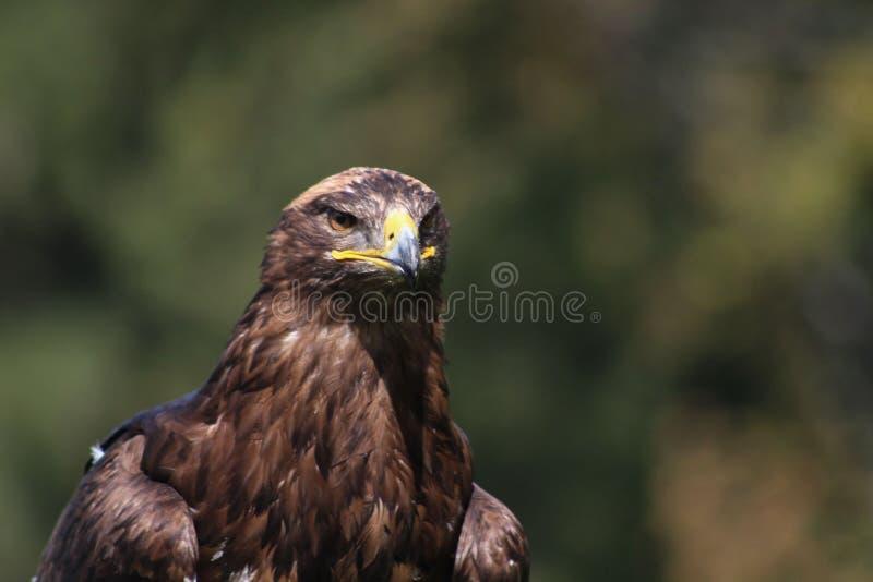 Eagle d'or - l'Illinois, fauconnerie, Vorarlberg, Autriche photographie stock