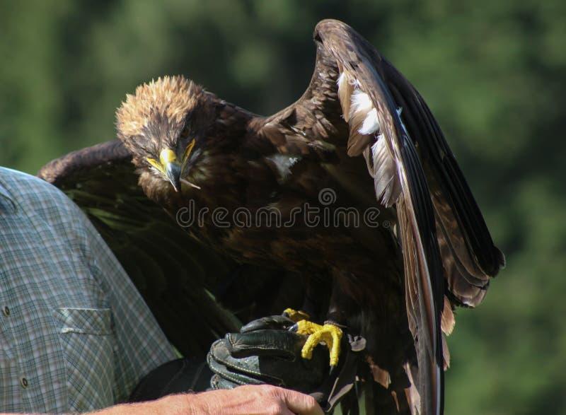 Eagle d'or - l'Illinois, fauconnerie, Vorarlberg, Autriche photos libres de droits