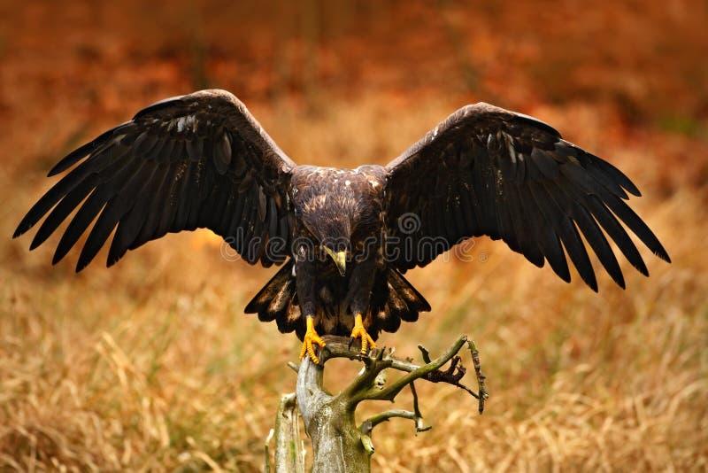 Eagle dalla coda bianca, albicilla del Haliaeetus, atterrante sul ramo di albero, con erba marrone nel fondo Atterraggio dell'ucc fotografia stock