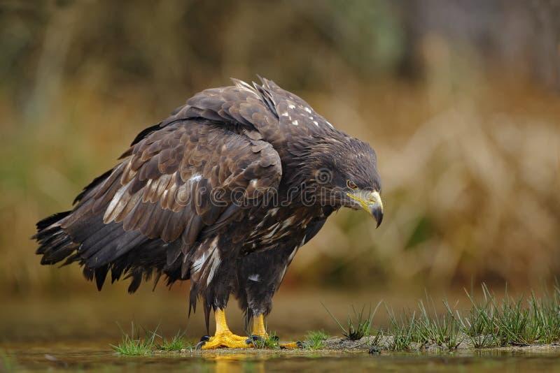 Eagle dalla coda bianca, albicilla del Haliaeetus, sedentesi nell'acqua, con erba marrone nel fondo fotografia stock