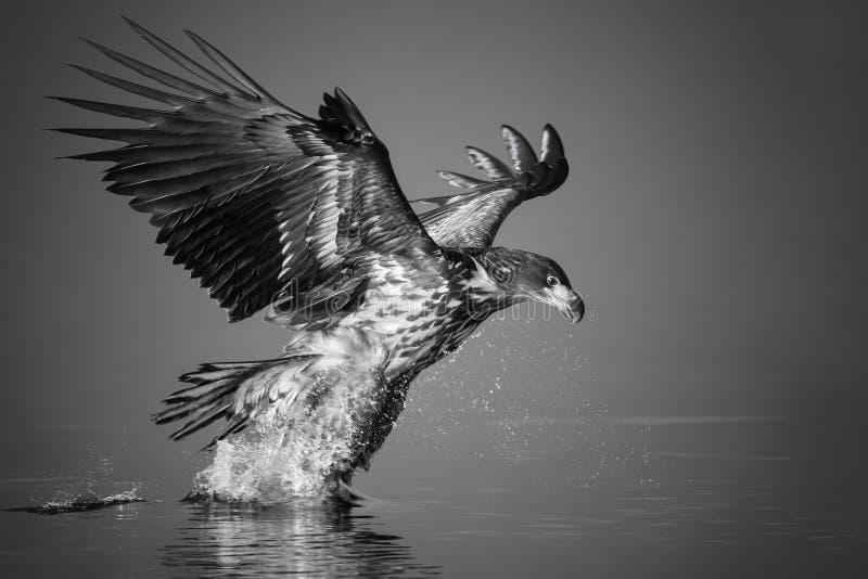 Eagle dalla coda bianca pesca il pesce immagine stock