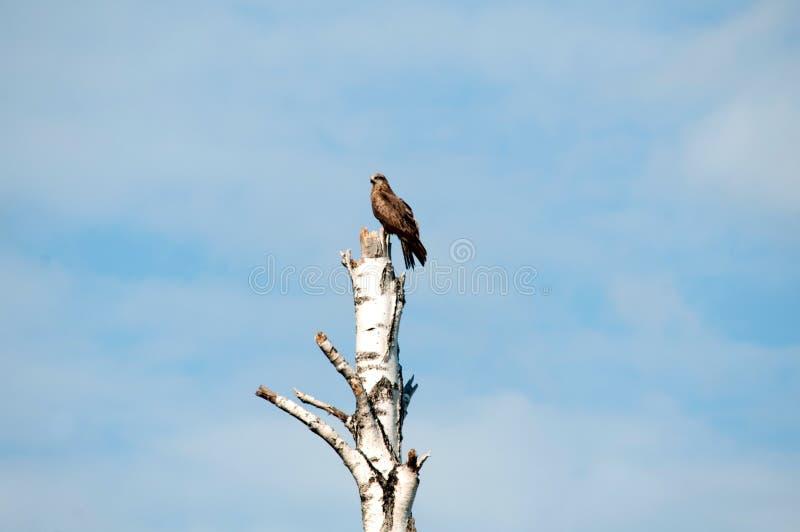 Eagle, das auf einem Baum sitzt und auf sein Mittagessen aufpasst stockbilder