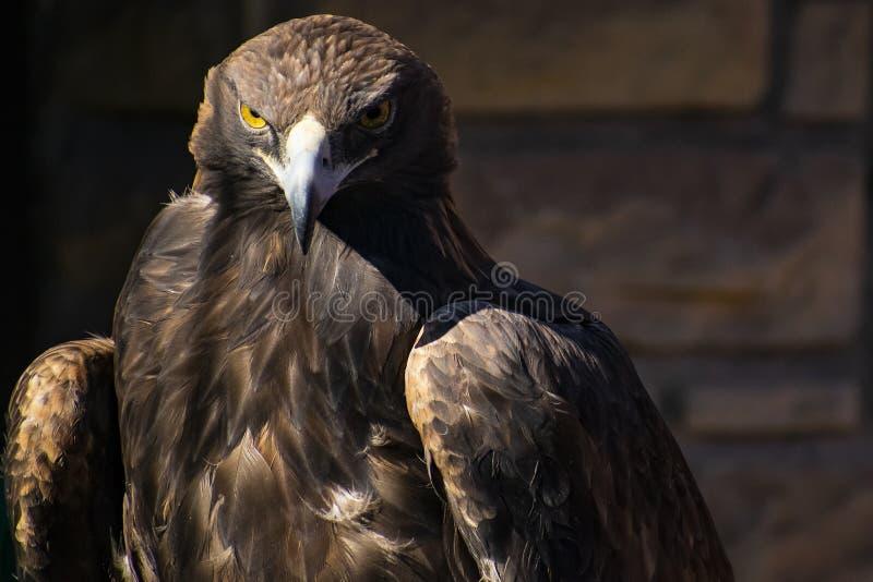 Eagle de oro en la tierra foto de archivo libre de regalías