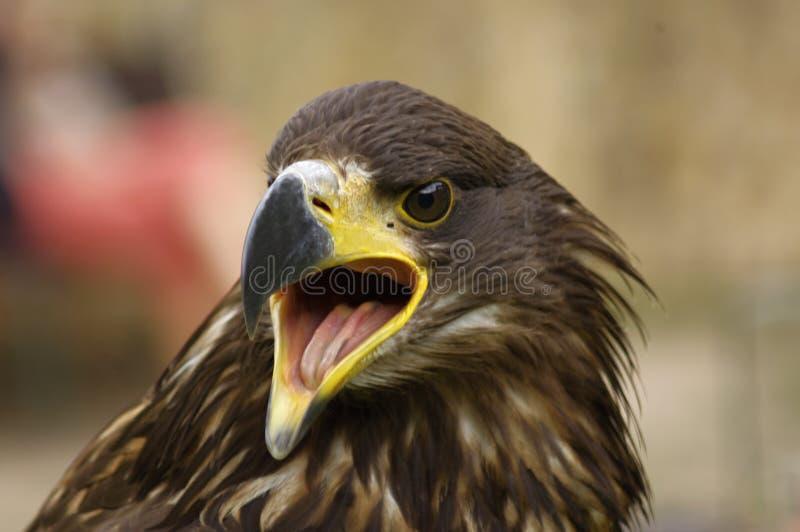 Eagle de oro - Orel Skalni fotos de archivo