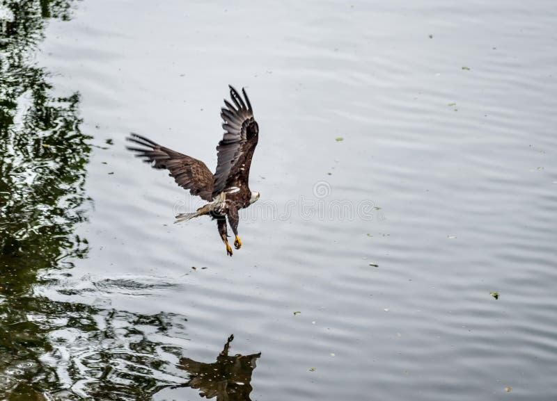 Eagle de oro que vuela sobre la playa imagen de archivo