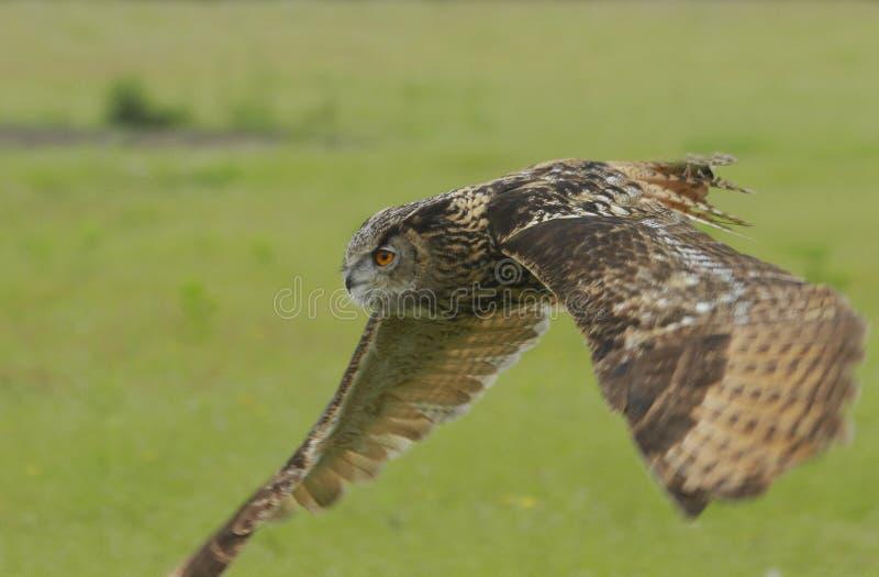 Eagle-de uil op snuffelt rond stock afbeelding