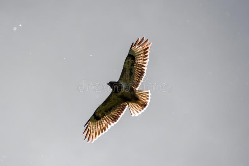 Eagle-de vliegende zon die van de buizerdvalk door vleugels glanzen stock foto's