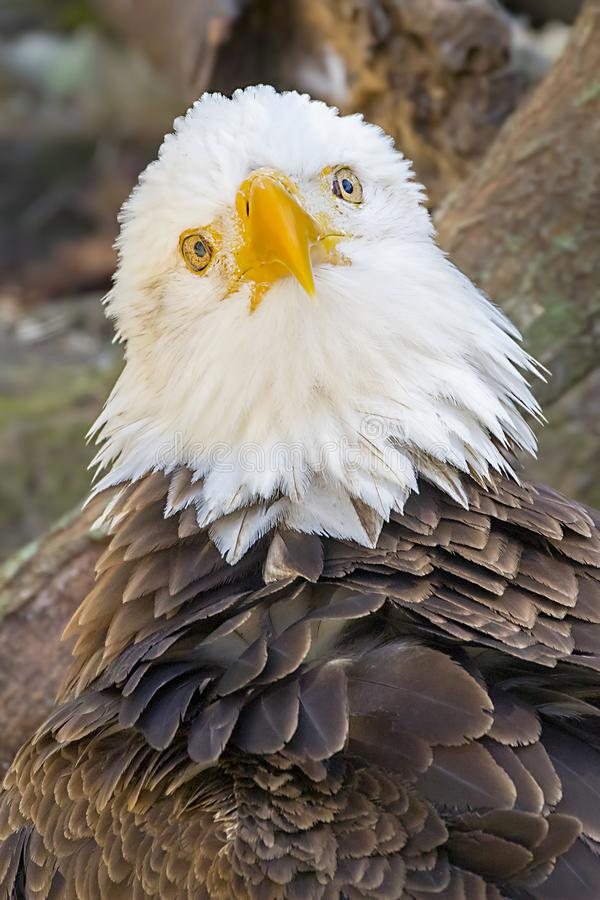Eagle In Deep Thoughts calvo fotografia stock