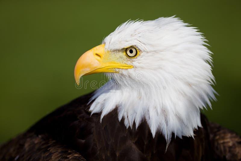Download Eagle detail stock photo. Image of nature, portrait, patriotic - 10527692