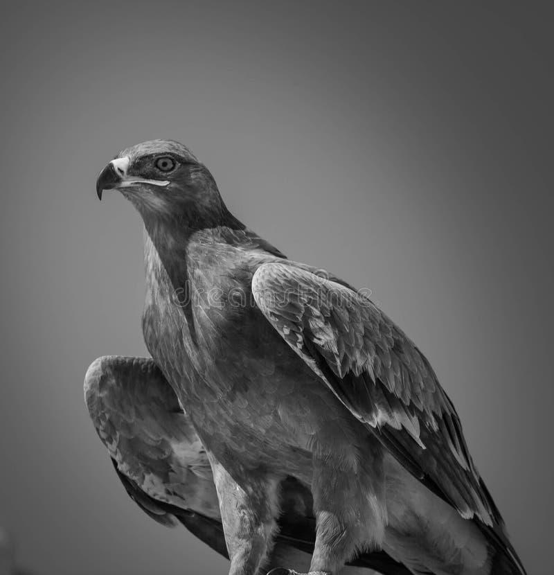 Eagle. Dhofar - Salalah - Oman country south off Oman royalty free stock images