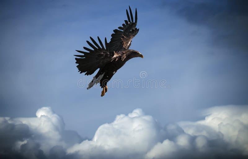 Eagle die bij blauwe hemel over de wolken vliegen stock foto