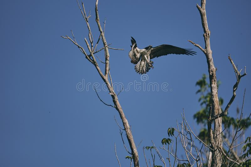 Eagle die naar boomtak vliegen royalty-vrije stock afbeeldingen