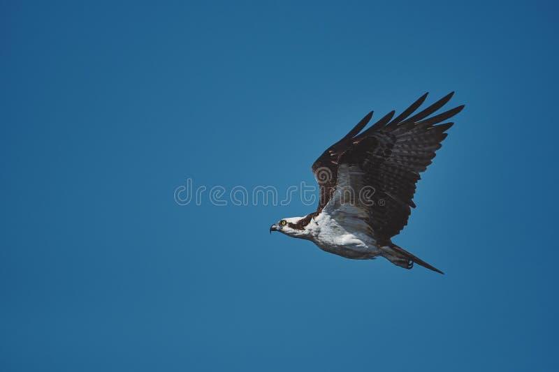 Eagle die onder de blauwe hemel vliegen royalty-vrije stock afbeelding