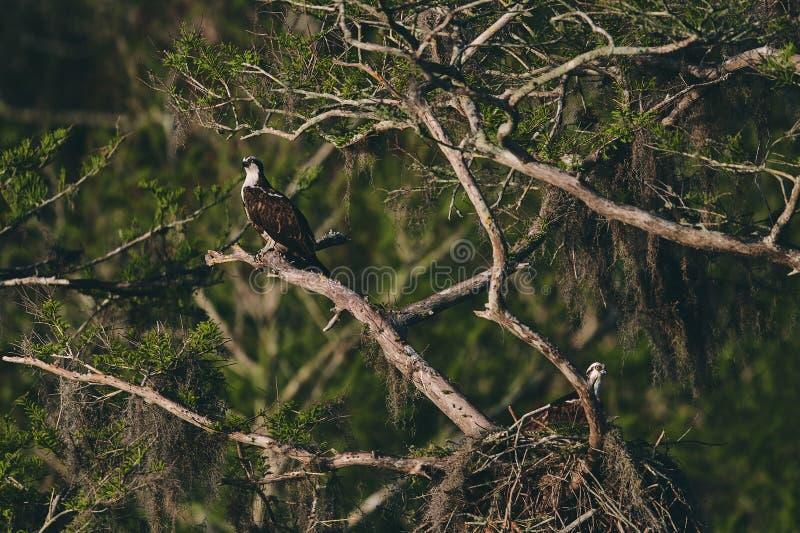 Eagle die op boomtak rusten royalty-vrije stock foto