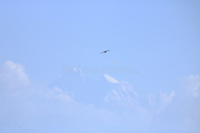 Eagle die over heilige berg van Himalayagebergte vliegen stock foto's