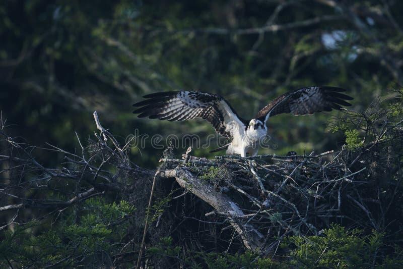 Eagle die zijn vleugels in zijn nest uitbreiden stock fotografie