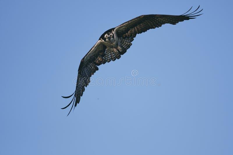 Eagle die zijn vleugels uitbreiden en in de blauwe hemel stijgen royalty-vrije stock afbeelding
