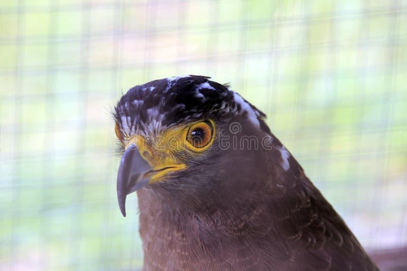 Eagle dietro le barre immagini stock