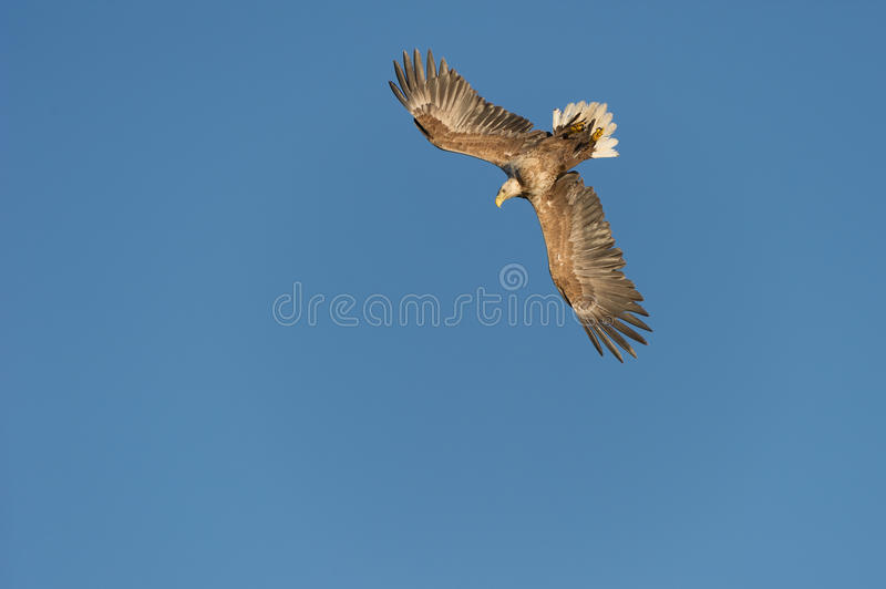 Download Eagle Diving stock photo. Image of animal, predator, sunset - 28044004