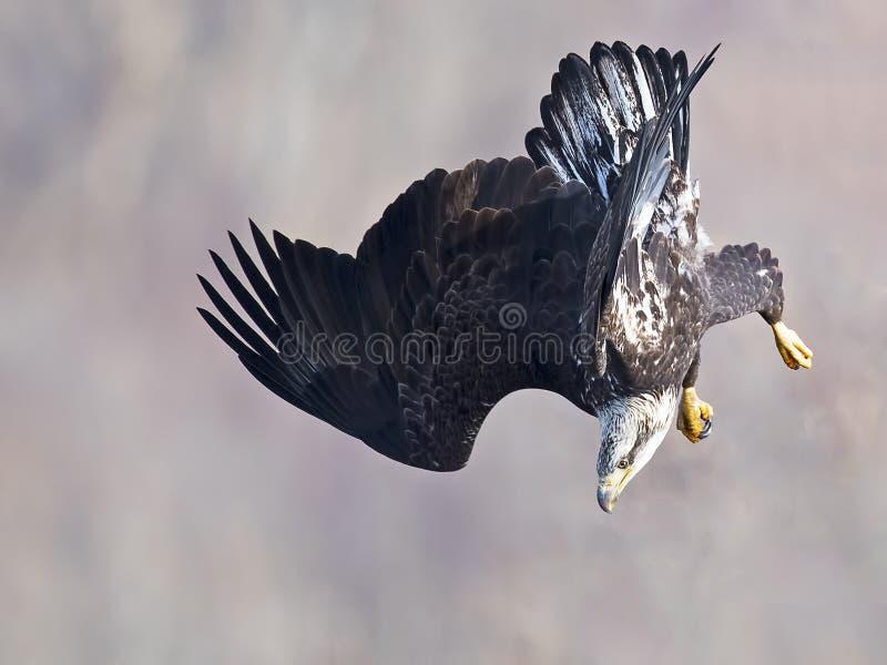 Eagle Diving calvo fotografia stock libera da diritti