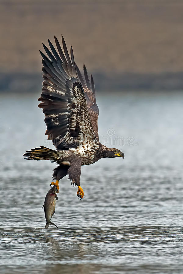 Eagle Diving calvo americano fotografie stock