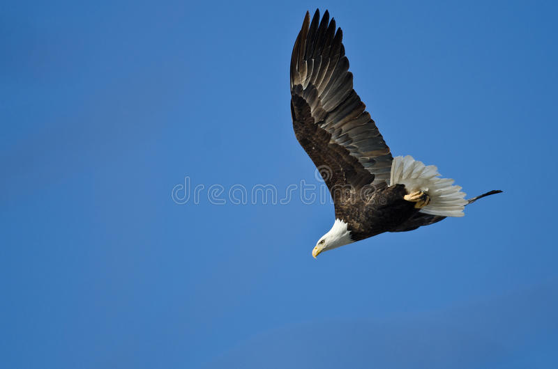 Eagle Diving After Prey calvo imagens de stock