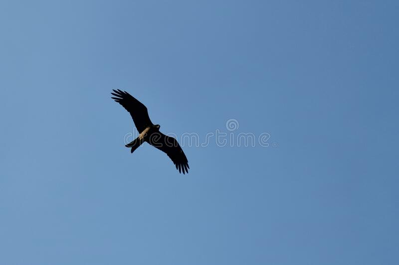 Eagle dominating its area blue sky open wings. Eagle dominating its area blue sky open royalty free stock photos