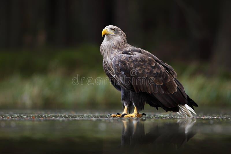 Eagle in donker meer Wit-de steel verwijderd van Eagle, Haliaeetus-albicilla, vlucht hierboven - waterrivier, roofvogel met bos o stock foto