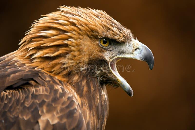 Eagle dourado foto de stock royalty free