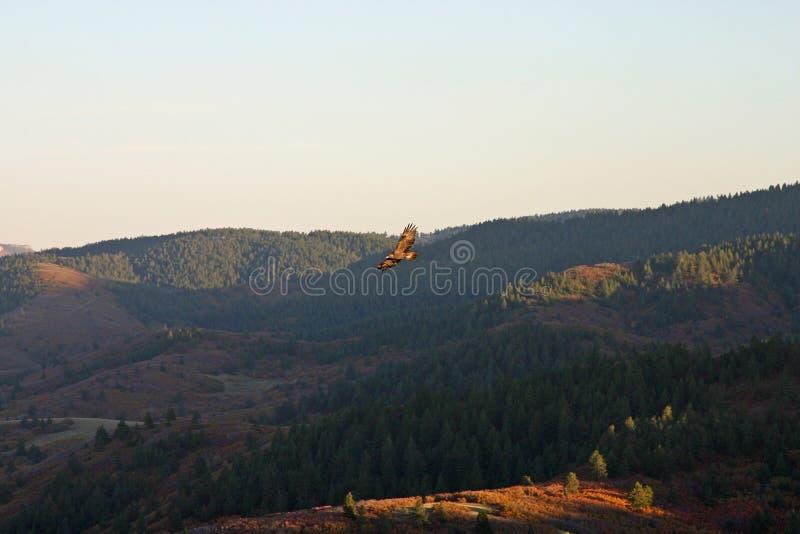 Eagle dourado crescente imagem de stock royalty free