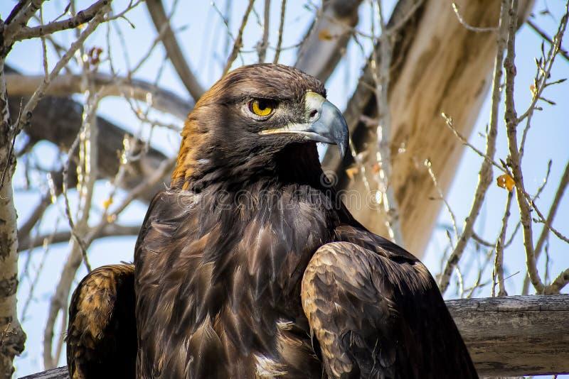Eagle dourado em uma árvore fotos de stock royalty free