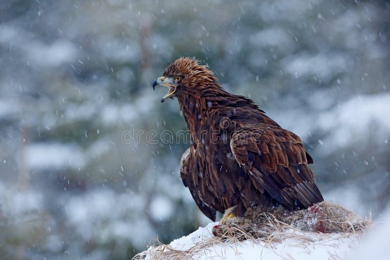 Eagle dourado na neve com lebre da matança, neve na floresta durante o inverno Eagle com captura Cena da remoção de ervas daninha foto de stock royalty free