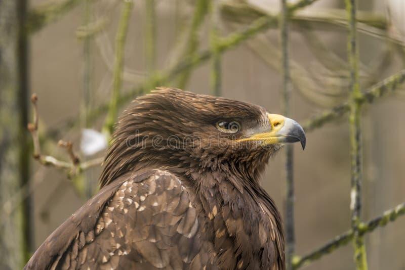 Eagle dourado no JARDIM ZOOLÓGICO frio Liberec foto de stock royalty free