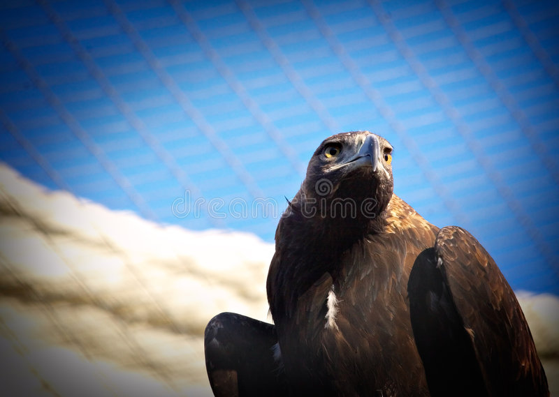 Download Eagle dreaming of freedom stock image. Image of scare, clouds - 453193