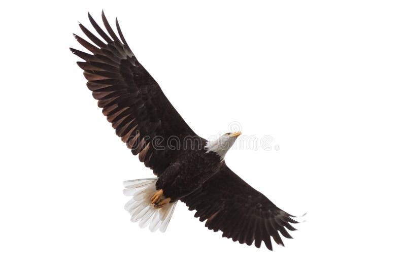 Eagle Drifts Across the Sky stock photos