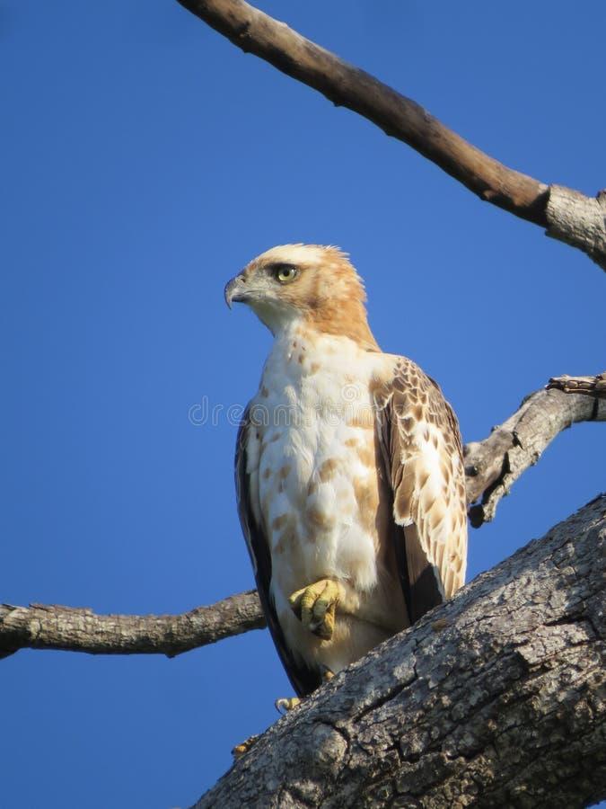 Eagle dziki obraz stock