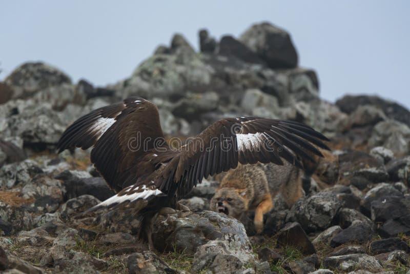 Eagle e lo sciacallo stanno combattendo per la preda fotografia stock