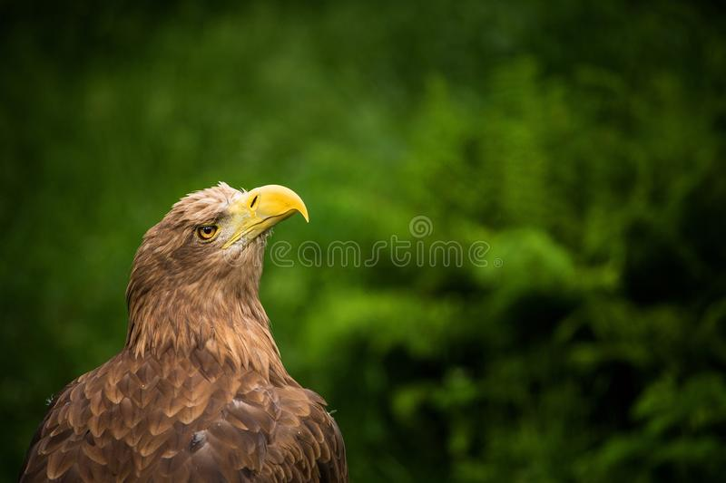 Download Eagle stock image. Image of american, background, decor - 31758067