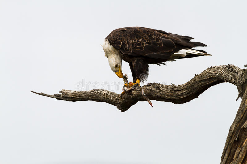 Eagle Eating Fish stock foto