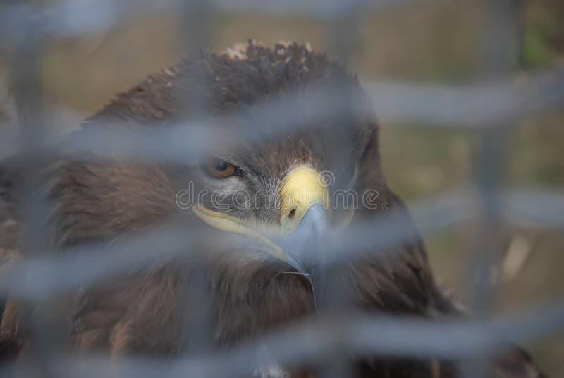 Eagle in een kooi die kijken omhoog waar de hemel zonder grenzen is Droevige adelaar Droevige havik Droevige vogel droefheid Eagl stock foto