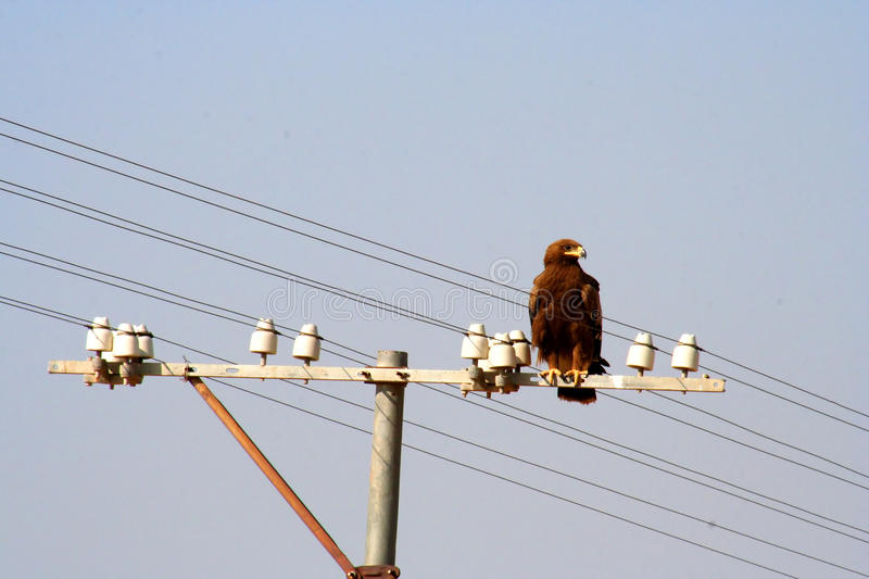 Eagle on electric pole. Big eagle sitting on top of an electric pole, Rajasthan, India stock photos