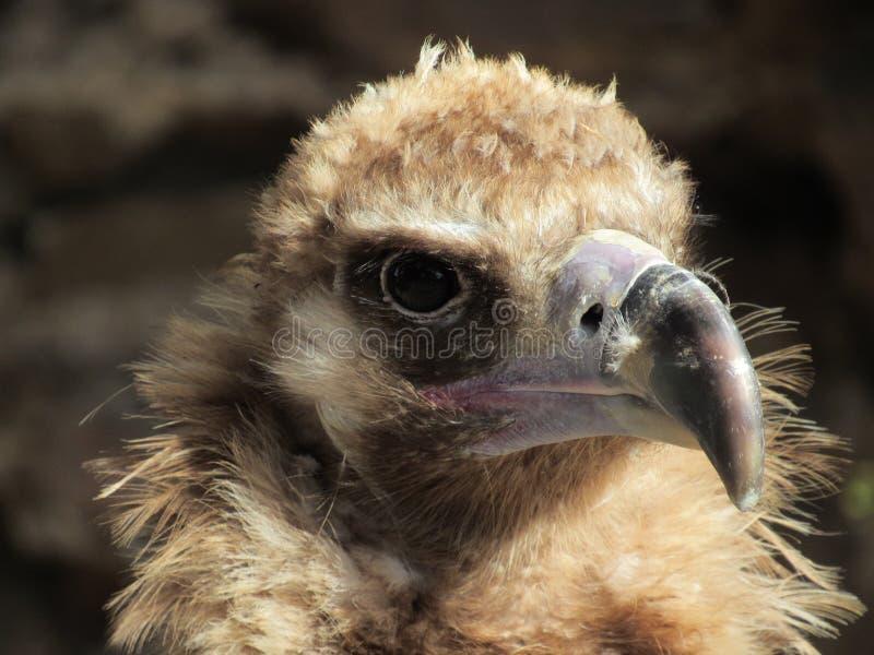 Eagle em um jardim zoológico imagem de stock