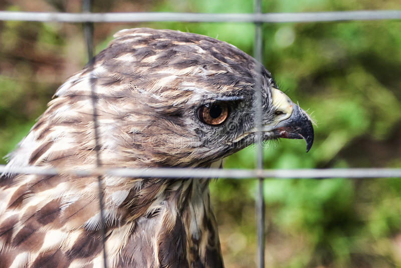 Eagle em uma gaiola Águia triste Falcão triste Pássaro triste sadness Eagle na gaiola Pássaro na gaiola Animais selvagens captura foto de stock royalty free