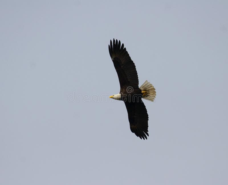 Eagle em voo imagens de stock