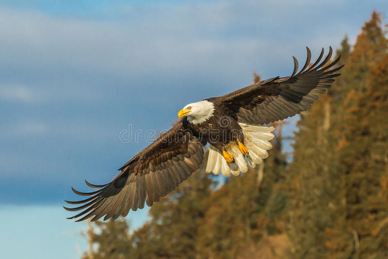 Eagle em voo fotografia de stock royalty free