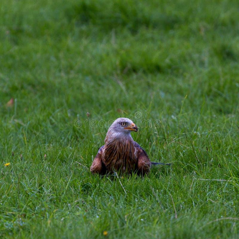 Eagle em Wildpark Neuhaus imagem de stock