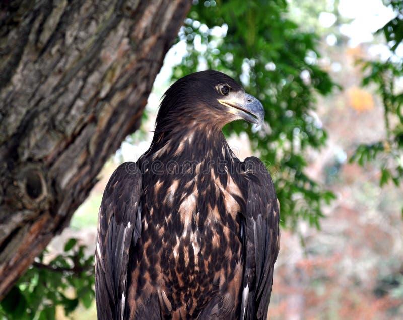Eagle en el parque fotos de archivo libres de regalías
