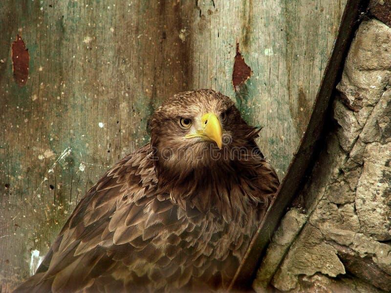 Eagle en el parque zoológico foto de archivo libre de regalías
