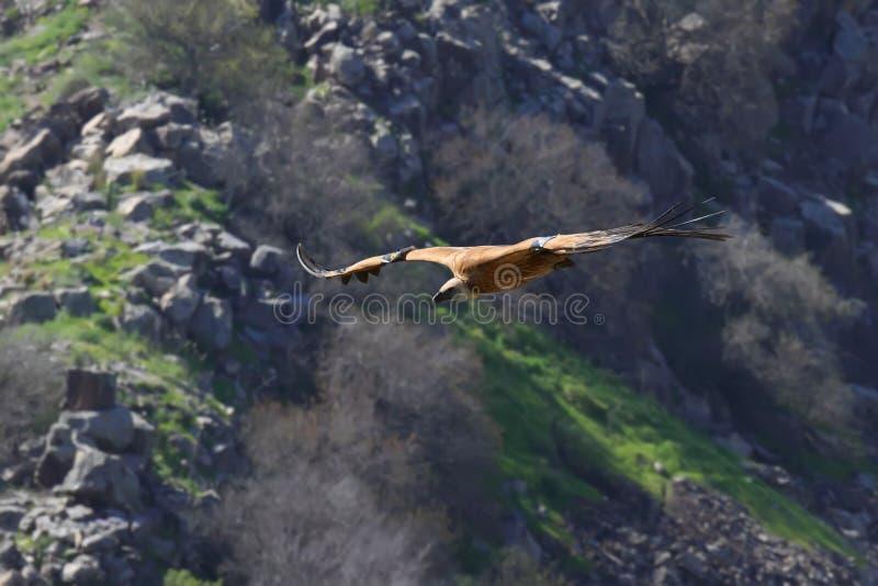 Eagle en vol image stock